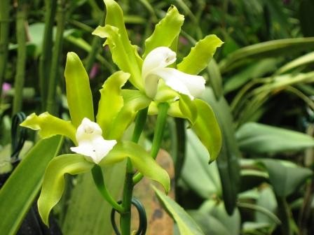Cattleya guttata var. Alba