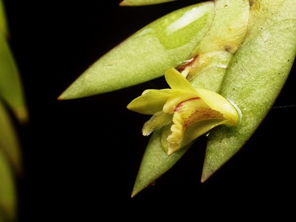 Dendrobium keithii