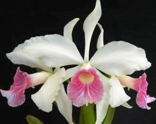 Laelia purpurata var. rosa cereja