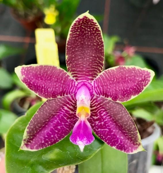 Phalaenopsis Penang Girl x Luedde-violacea