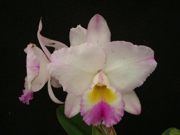 "Blc. Nobile´s Suprema ""Spring Beauty"""