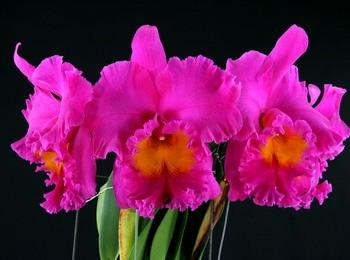 """Blc. Pink Empress """"Bright Sun"""""""