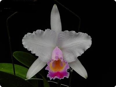 Cattleya chocoensis (quadricolor)