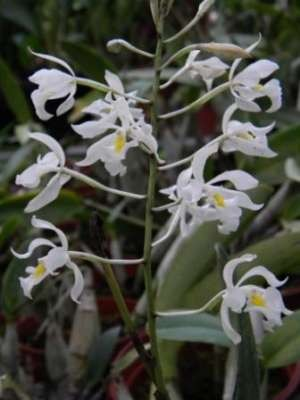 Epidendrum bracteolatum