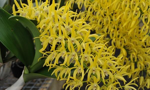 "Dendrobium speciosum var. Grandiflorum x speciosum intervarietal ""Patsy"" (2063)"