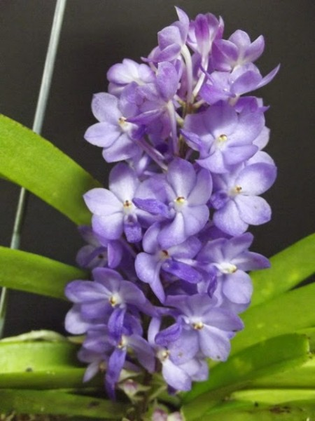 Vandachostylis Lilac Blossom