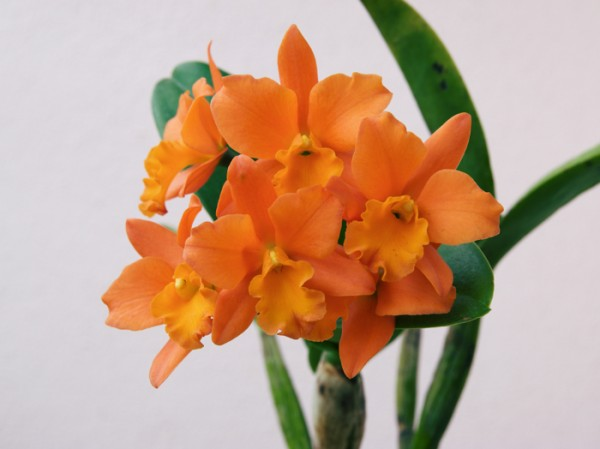 Rth. Fuchs Orange Nugget ''Golden Orange''