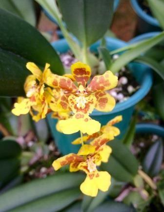 Oncidium (pulvinatum x harrisoniae)