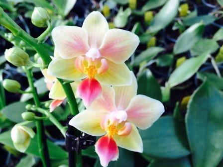 "Phalaenopsis (Ambo Choon x Be Tris) ""Sunny Smell"""