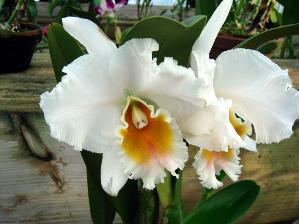 Cattleya percivalliana var. Alba