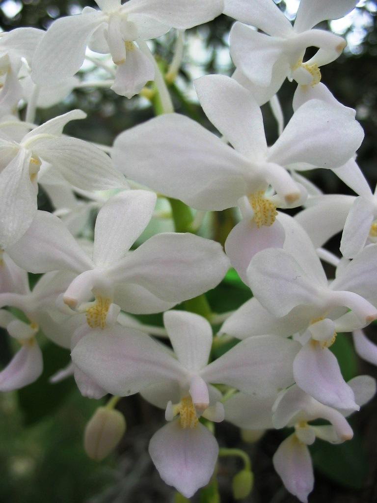 phalaenopsis equestris var albescens phalaenopsis naturformen phalaenopsis orchideen lucke. Black Bedroom Furniture Sets. Home Design Ideas
