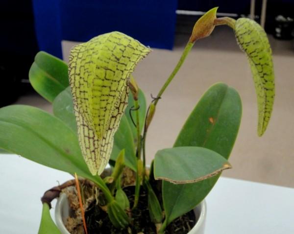 Bulbophyllum arfakianum x grandiflorum