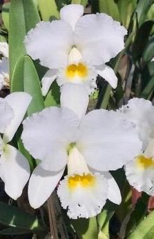 "Cattleya Virginia Ruiz ""Washington"""