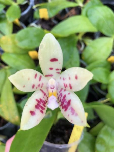 Phalaenopsis tetraspis x Guadalupe Pineda