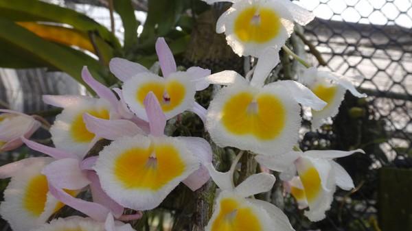"""Dendrobium primulinum """"Laos"""""""