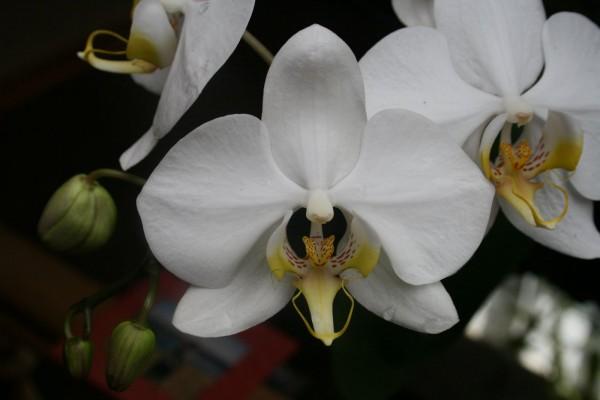 """Phalaenopsis amabilis """"Sabahf"""""""