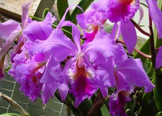 Cattleya Santa Barbara