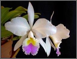 "Cattleya gaskelliana var. Semi Alba (Rainha dos Belgas x ""Eneias"")"