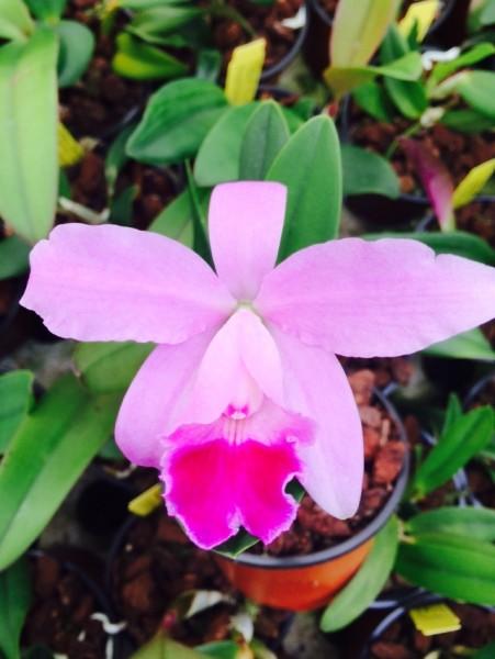 Cattleya Holdenii