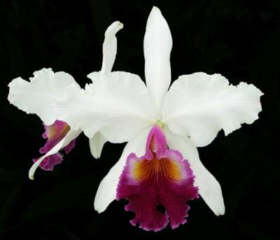 Cattleya Fabia