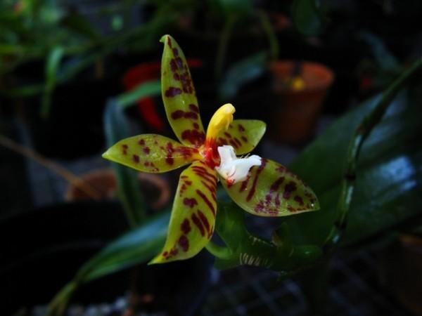 Phalaenopsis lameligera