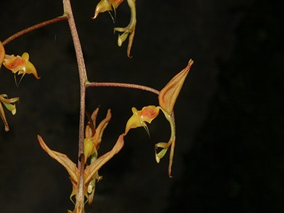 Gongora aromatica x self