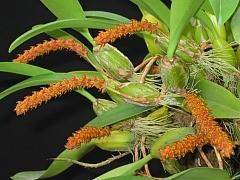 Bulbophyllum elasonotum