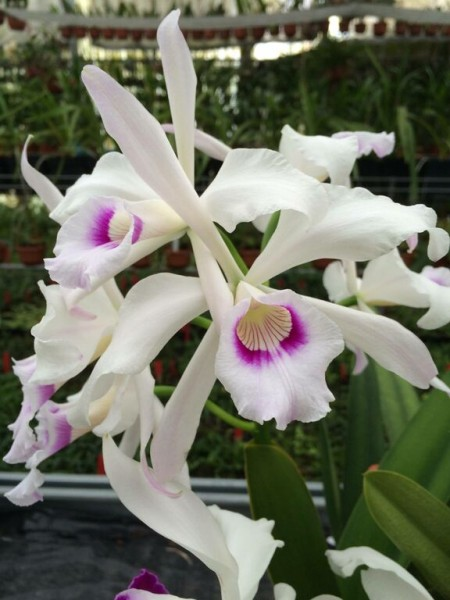 "Laelia purpurata var. Anelata ""Adam1"" x self"