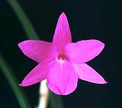 Sophronitella violacea
