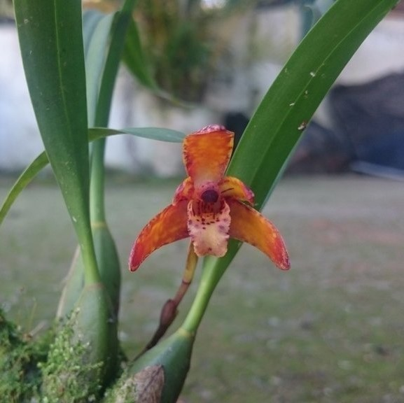 Maxillaria schunkeana x picta