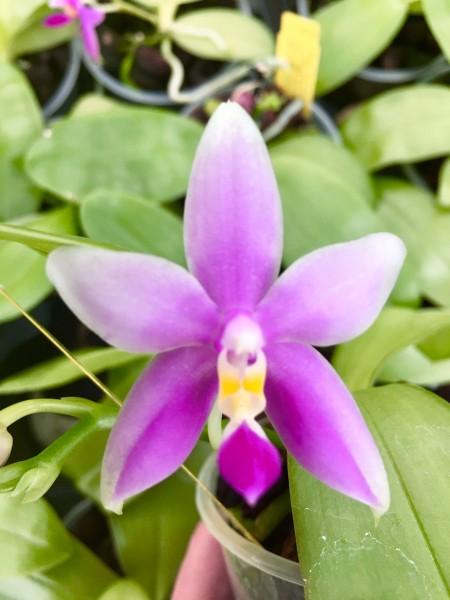 Phalaenopsis Tzu Chiang Tetralitz x Fintje Kunriawati