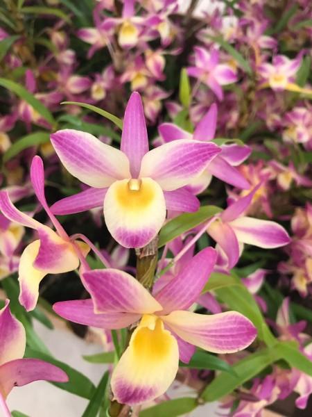 "Dendrobium Mini Rainbow ""Lancelot"""