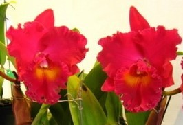 "Blc. Village Chief Armani ""Red Dragon"""