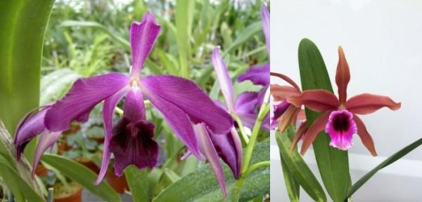 "Laelia purpurata var. Sanguinea x Laelia tenebrosa var. Rubra ""Aranda"""