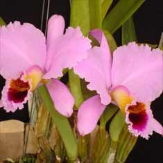 "Cattleya percivalliana ""Thiago"" AM/AOS"