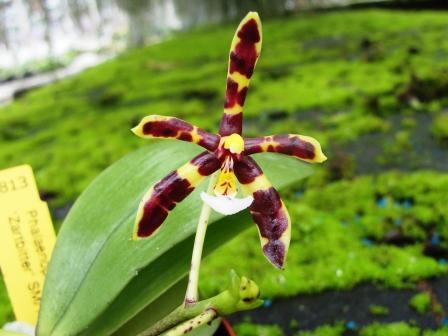 phalaenopsis naturformen phalaenopsis orchideen lucke. Black Bedroom Furniture Sets. Home Design Ideas