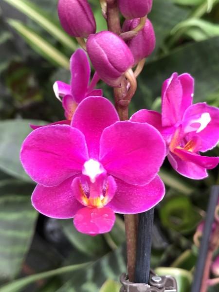 """Doritaenopsis Sogo Keitly """"F1621"""""""