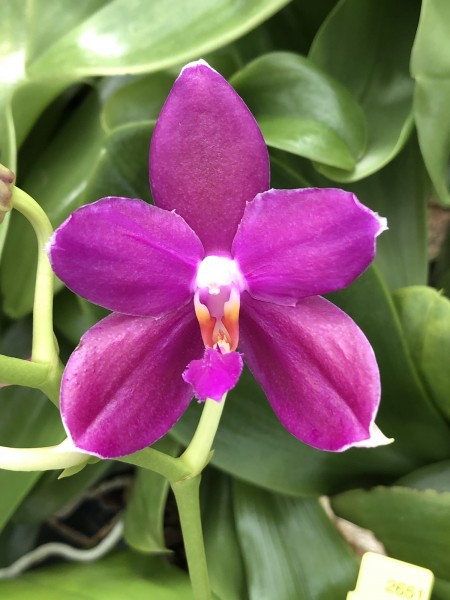 Phalaenopsis (Mituo Sun x violacea) x (speciosa x javanica)