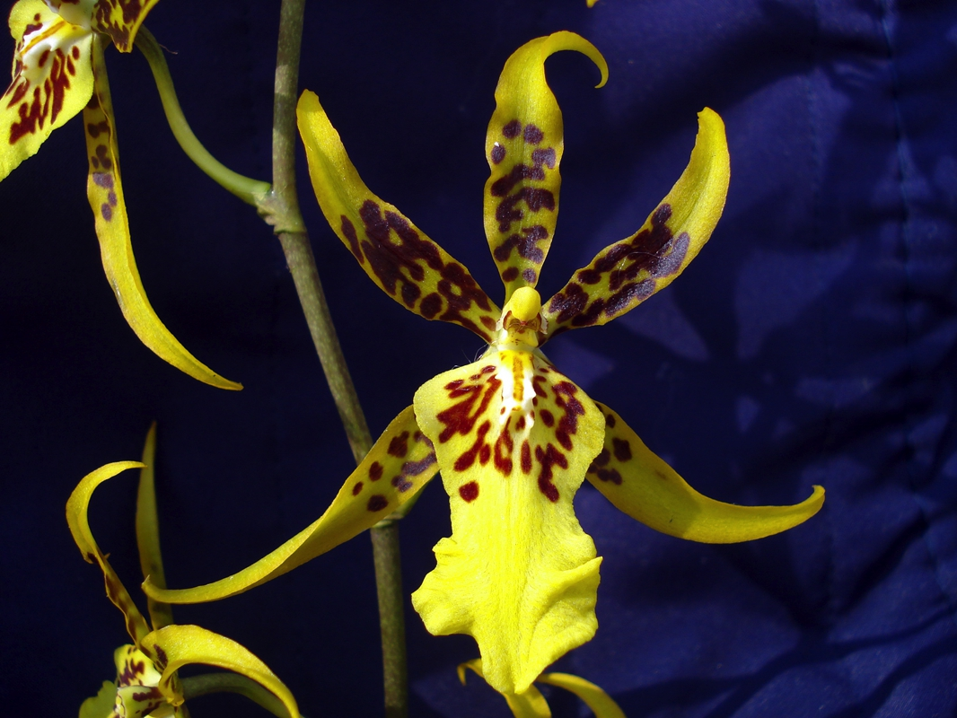 brassidium fly away hybriden a e diverse hybriden orchideen lucke. Black Bedroom Furniture Sets. Home Design Ideas