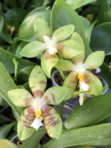 "Phalaenopsis Yaphon Green Canary ""Yellow"" x Tsay´s Evergreen"
