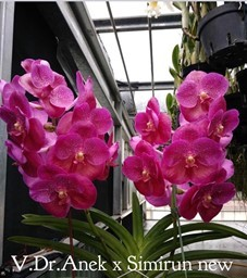 Vanda Dr. Anek x Simirun new
