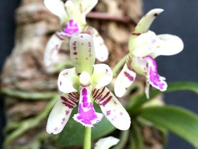 Sedirea (Aerides) japonica