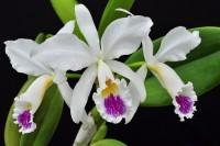 Orchideen Lucke