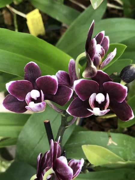 Phalaenopsis Hybride Bordeaux Miniatur