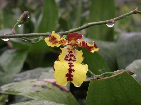 Oncidium concolor x Baptistonia echinata