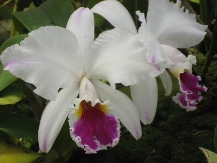 Cattleya labiata var. Semi Alba