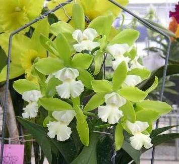 "Cattleychea (Epc.) Siam Jade ""Sweet Fragrance"""