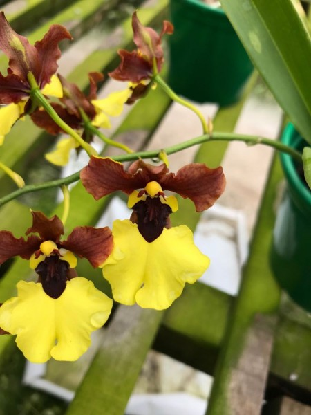 Oncidium Killer Bee