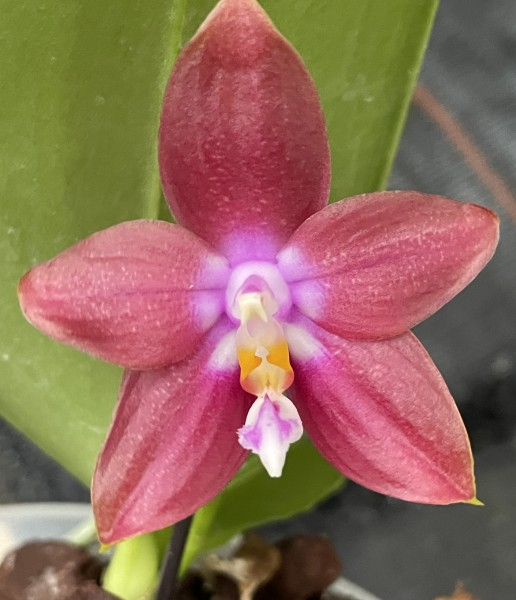 Phalaenopsis (Chienlung Red King x Dragon Tree Eagle) x Joshua Irwin Ginsberg