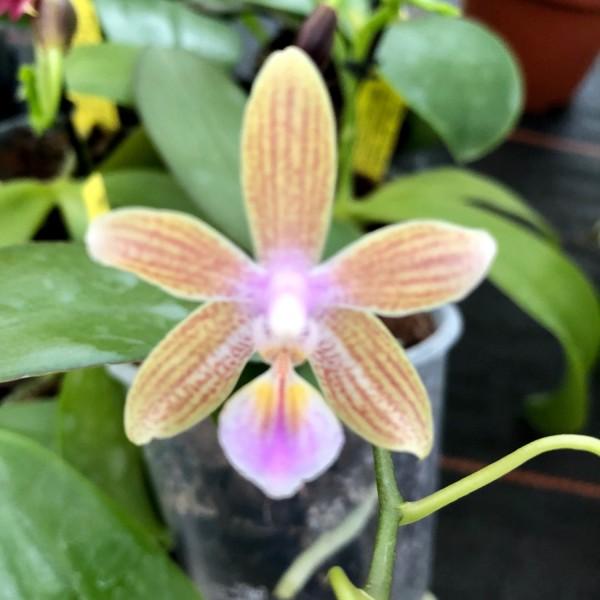 """Phalaenopsis venosa """"Chestnut"""" x lindenii"""